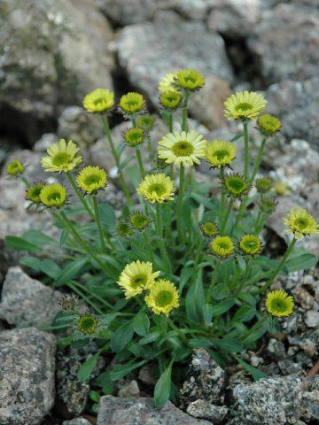 Мелкие ярко-желтые соцветия
