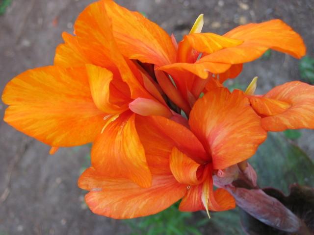 Лепестки мандаринового цвета