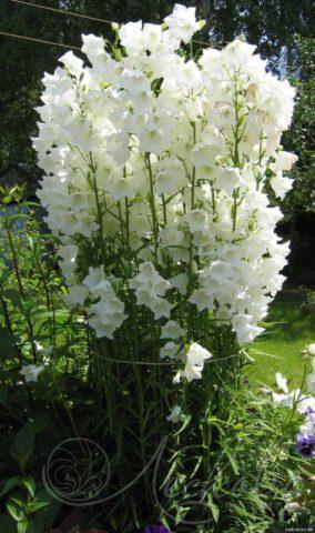 Цветки молочно-белые