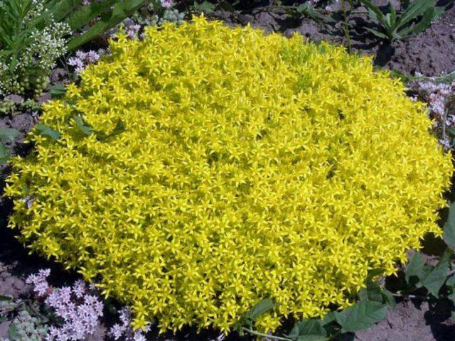 Округлые сложные соцветия