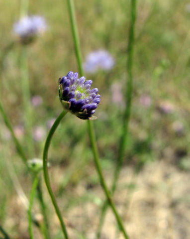 B. montana