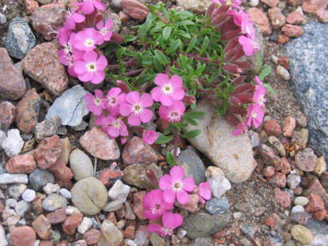 Обладает махровыми розовыми цветками