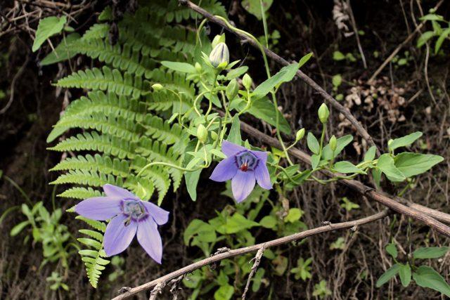 Мощное вьющееся растение