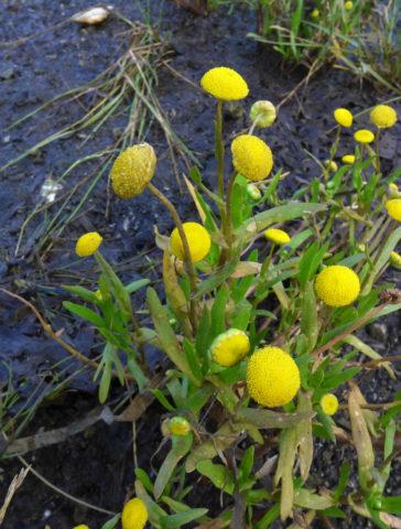 Соцветия до 1 см в диаметре, желтые