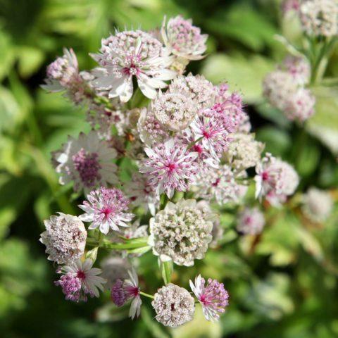 Цветет невзрачными белыми цветками