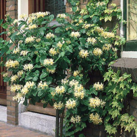 Белые и желтые цветки с сильным ароматом