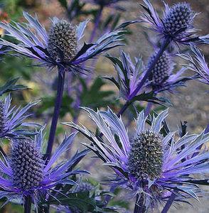 Крупные сине-фиолетовые соцветия