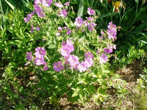Чисто-розовые цветки