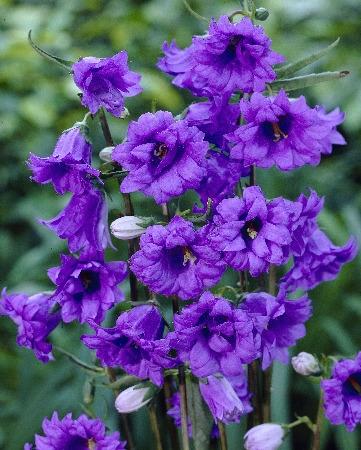 Цветки до 5 см длиной, фиолетово-синие