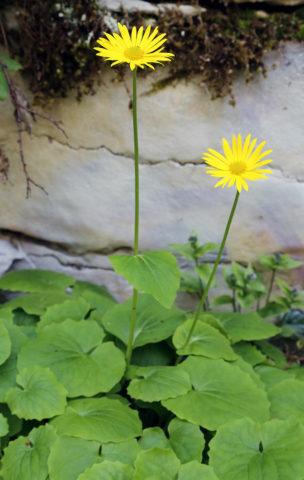 Соцветия-корзинки желтые, одиночные