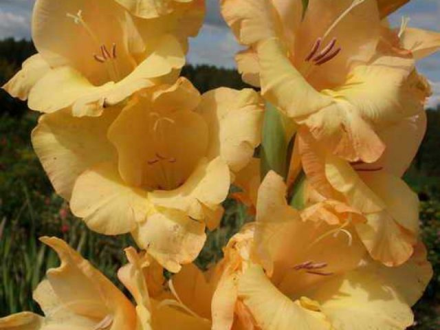 Сорт образует золотисто-желтые цветки