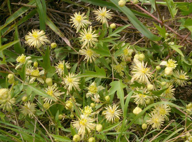 Цветки звездчатые, желтовато-зеленые