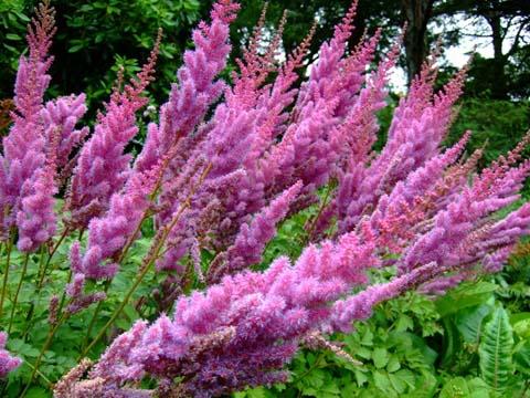 Узкие сиренево-розовые соцветия