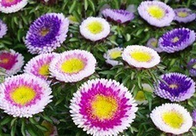Соцветия напоминают помпоны