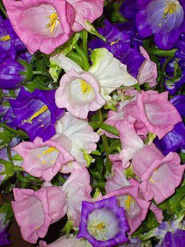 Сорт образует аметистово-синие цветки