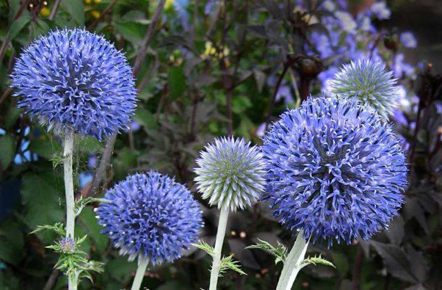 Компактное растение с темными сине-стальными соцветиями