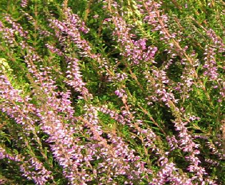 Белые почки с пурпурными концами