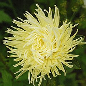 Цветки гофрированные