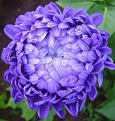 Соцветия темно-синие