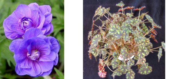 Цветки сине-розовато-лиловые