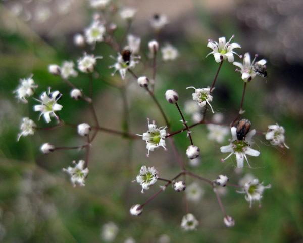 Множество мелких белых цветков