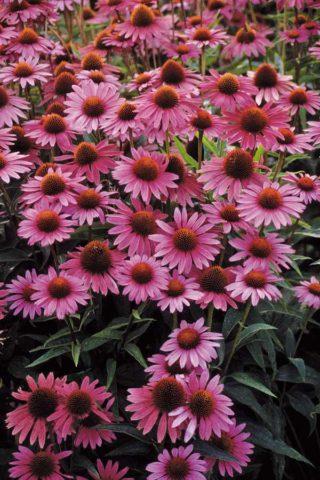 Темно-пурпурные краевые цветки