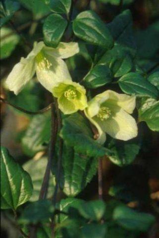 Кремовые цветки