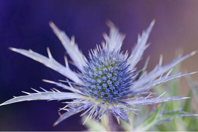 Лавандово-синие соцветия