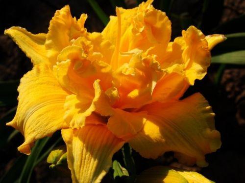 Цветки ароматные, махровые
