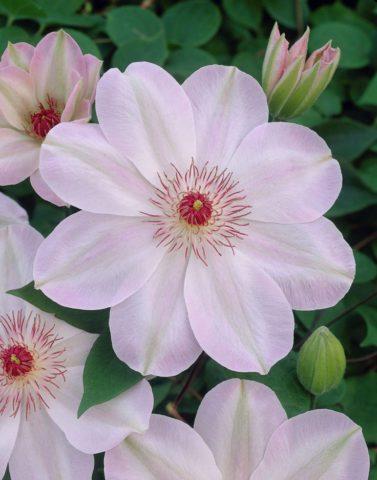 Цветки состоят из восьми розово-белых листочков
