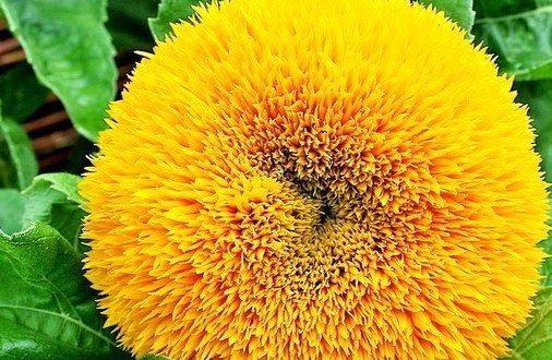 Сорт имеет полностью махровые желтые цветки