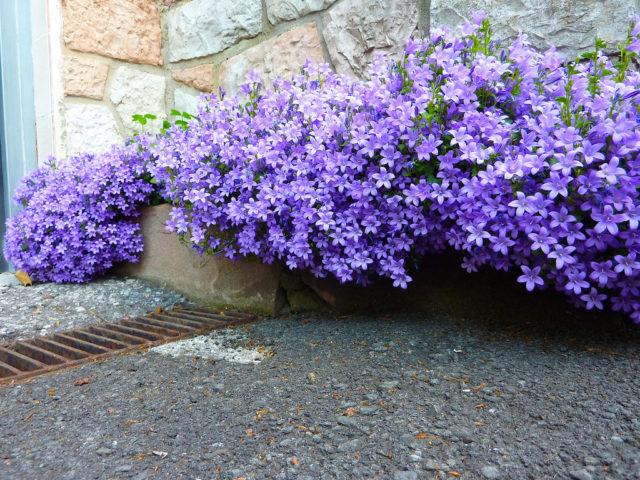 Крупные голубые или фиолетово-синие чашевидные цветки