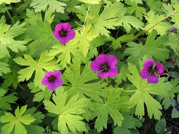 Цветки крупные, ярко-фиолетовые, с черным центром