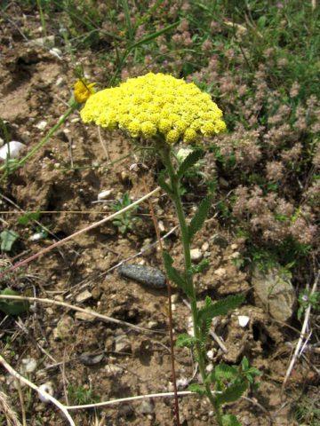 Желтые соцветия-корзинки