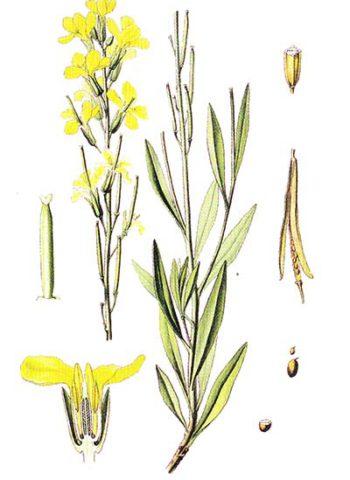 Растение с колосовидными соцветиями