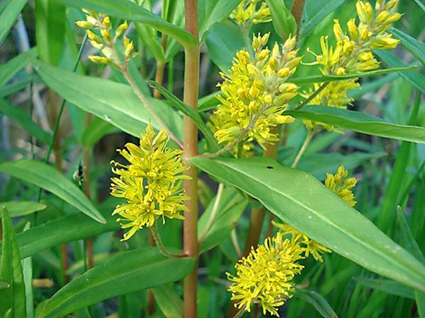 Щитковидные открытые соцветия