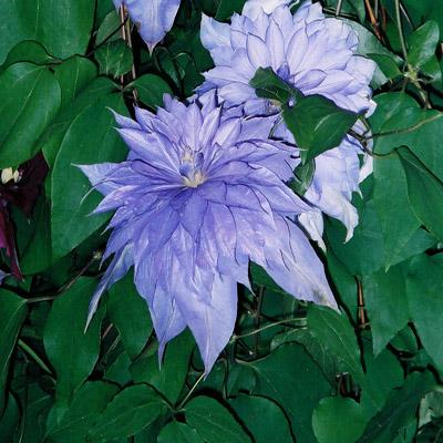 Сорт образует крупные, махровые, сиренево-голубые цветки