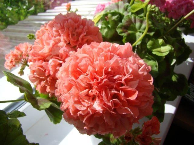 Полностью махровые цветки