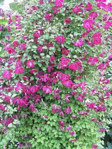 Сорт украшен темными винно-красными цветками
