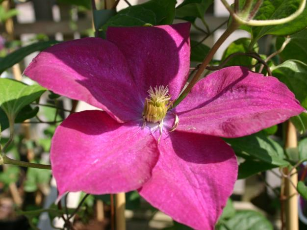 Сорт образует цветки с шестью винно-красными листочками околоцветника