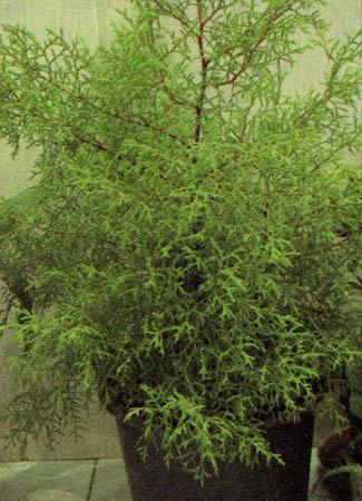 Распростертое почвопокровное растение