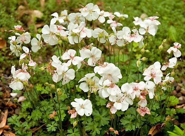 Сорт образует чисто-белые цветки с золотистыми пыльниками