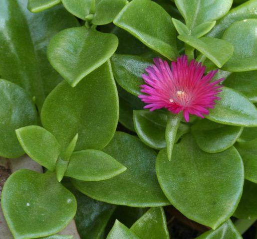 Растение легкое в культуре