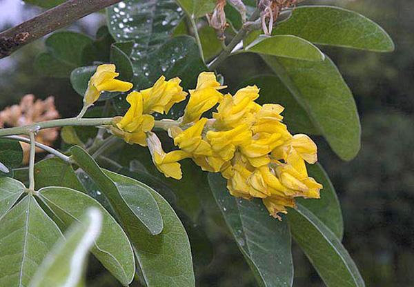 Цветки золотисто-желтые, с запахом ананаса