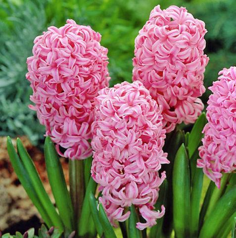 Цветки кораллово-розовые