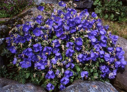 Светло-голубые цветки с более темным краем
