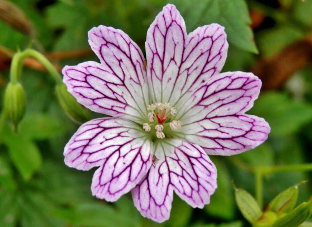 Цветки белые, воронковидные, с узорчатым пурпурным жилкованием