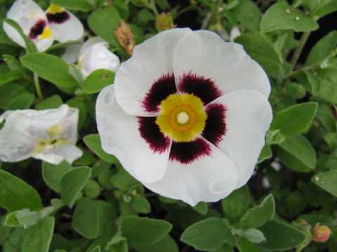 Цветки до 5 см в диаметре