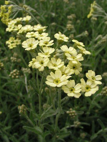 Неяркие, желтые соцветия