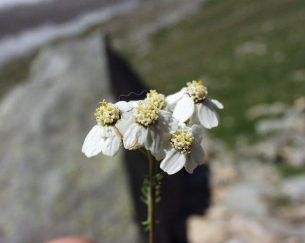 Кисти белоснежных соцветий